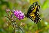 Swlowtail9303(8x12)