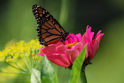 Monarch Butterfly on pink Zinnia -- DSC_0228