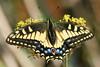 Swallowtail5230 (8x12)