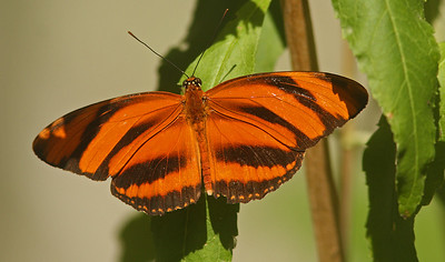 Banded Orange, Turtle Bay, Redding CA