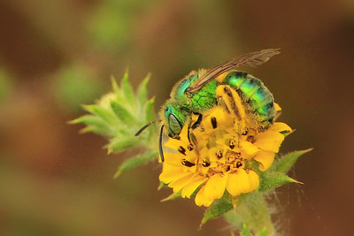 Green Metallic Bee -(Agapostemon sp.) on Southern Tarplant  (Centromadia parryi ssp. australis) ~ endangered.
