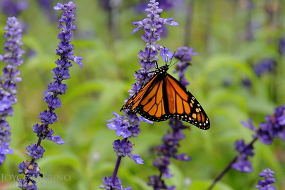 Monarch Butterfly on purple Salvia -- DSC_1007