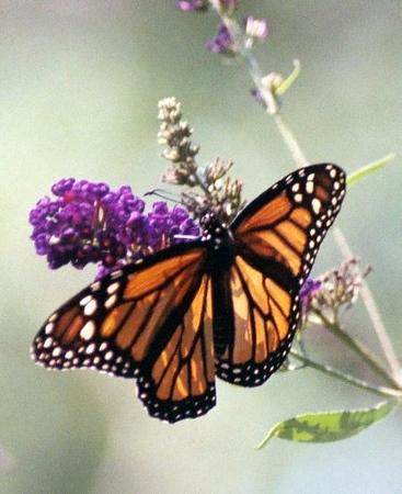 monarch in WV
