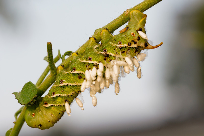 A Tomato Hornworm with Parasitic Wasp cacoons hanging from it's back.  You can see several of the cacoons are already empty.