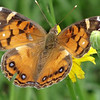A Painted Lady Butterfly (Vanessa cardui). I found this beauty nectaring on a flower. She is a little bit worn, but still looks reasonably  good.