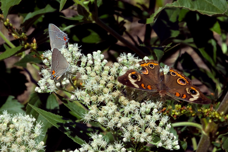 Gray Hairstreak (Strymon melinus) & Buckeye Butterfly - (Junonia coenia)