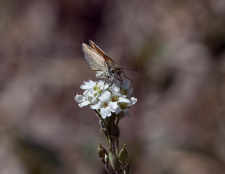 Garita Skipperling (Oarisma garita)