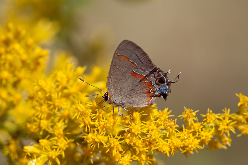 Red-banded Hairstreak (Calycopis cecrops)