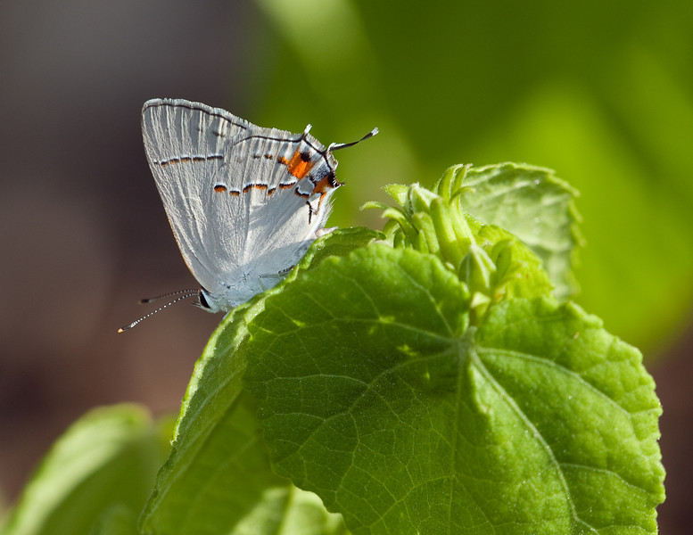 Gray Hairstreak (Strymon melinus),