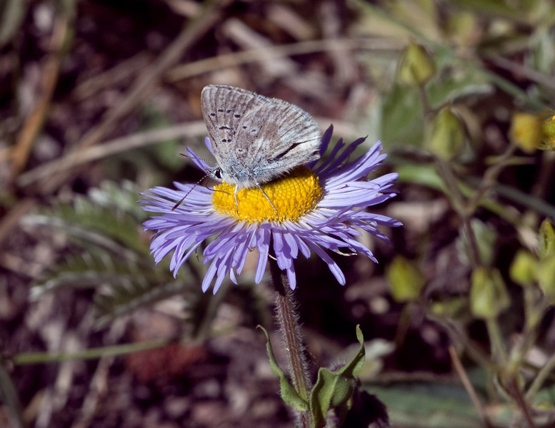 Artic Blue Butterfly (Plebejus glandon)  San Juan Mts  SW Colorado