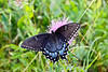 Black swallowtail butterfly 1-1
