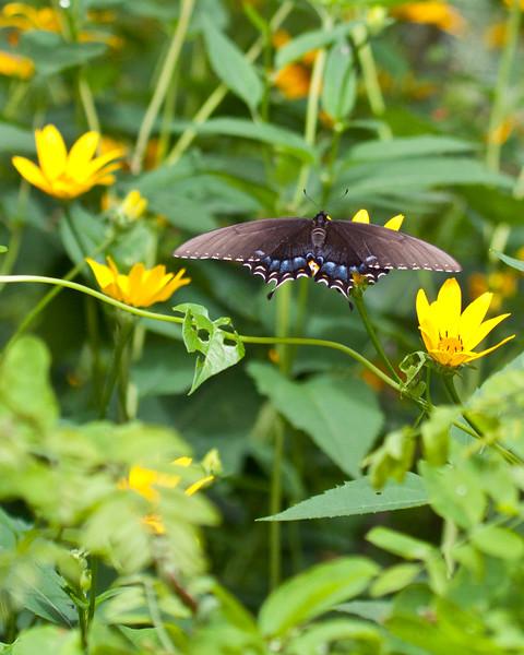 Spicebush Swallowtail 0810-4 (1 of 1)