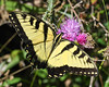 Eastern Tiger Swallowtail on Thistle plant