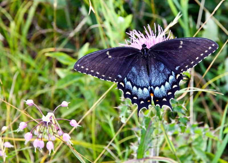 Black swallowtail butterfly 2-1