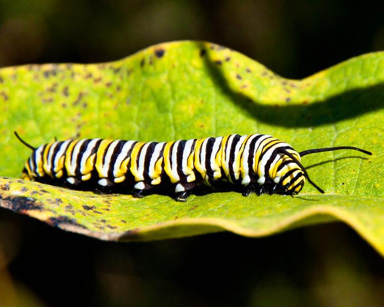 Monarch caterpillar crawling on a milkweed leaf