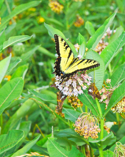 Eastern Tiger Swallowtaail 2-1