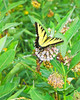 Eastern Tiger Swallowtaail 2-1