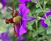 Hummingbird moth and purple petunias