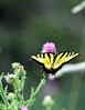 Eastern Tiger swallowtail 4-1