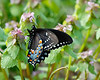 Eastern Black Swallowtail 1-1