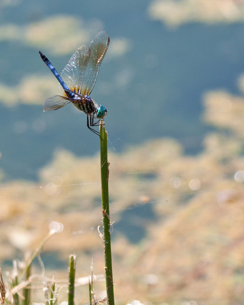 Blue Dasher dragonfly 0719-2 (1 of 1)