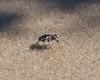 Northeastern Beach Tiger Beetle Larva