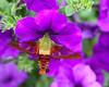 Hummingbird moth 4-1