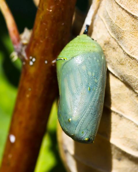 Monarch chrysalis on milkweed leaf
