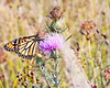 Monarch butterfly on thistle flower