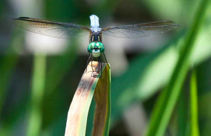 Eastern Pondhawk Dragonfly-Male