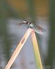 Common Green Darner 0722-2 (1 of 1)