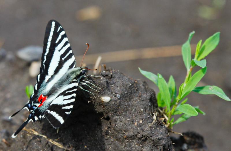 Zebra Swallowtail at Lupton Farm