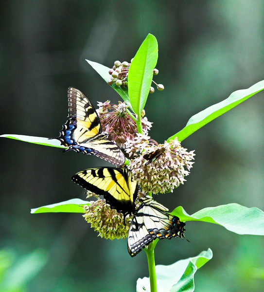 Eastern Tiger Swallowtails on milkweed bloom