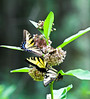 Eastern Tiger Swallowtails on milkweed bloom