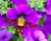 Hummingbird moth 0801-1-1