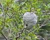 Beehive in tree