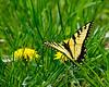 Tiger Swallowtail Butterfly on dandelions