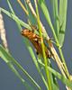 Grasshopper hanging on grasss