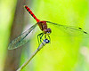 Red dragonfly on stalk