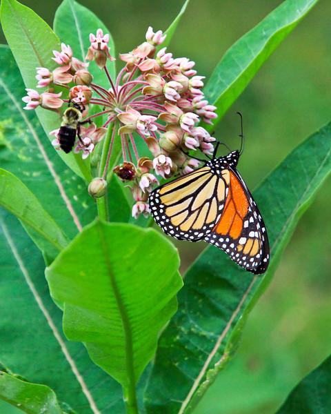 Monarch and bee on Milkweed