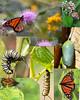 Monarch collage