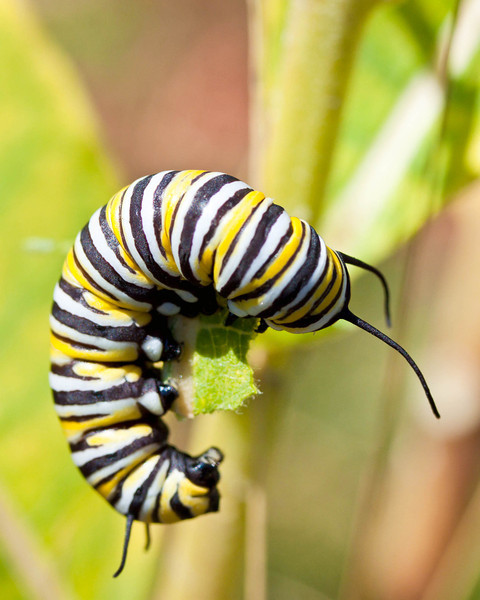 Monarch caterpillar eating milkweed leaf