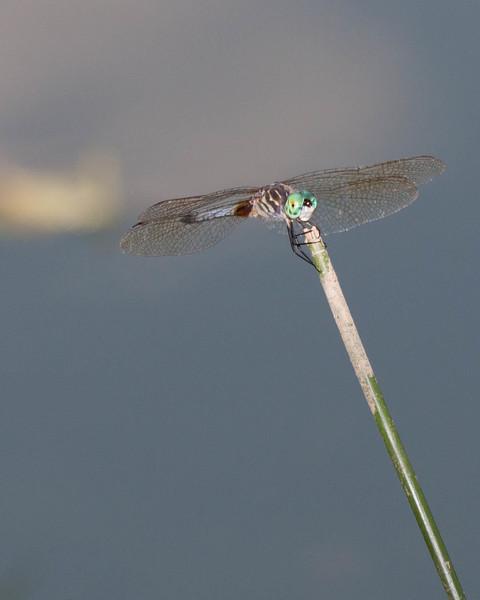 Common Green Darner 0810-2 (1 of 1)