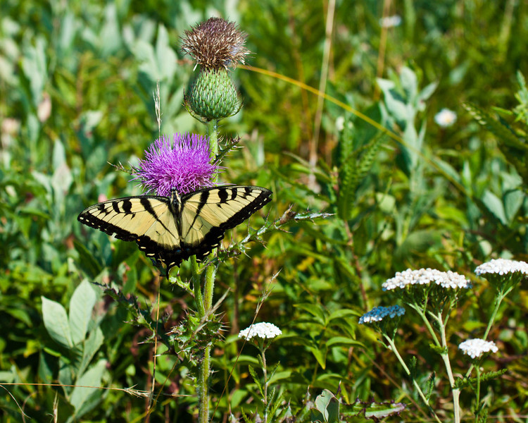 Eastern Tiger Swallowtail butterfly on Thistle flower