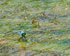 Eastern Pondhawk Dragonfly sitting on pond