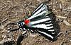 Zebra Swallowtail Butterfly