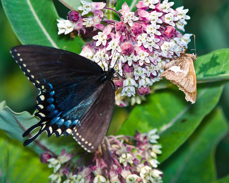 Spicebush Swallowtail Butterfly on Milkweed bloom