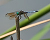Eastern Pondhawk Dragonfly-Male