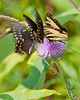 Butterflies on thistle plant