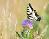 Tiger swallowtail butterfly on thistle flower